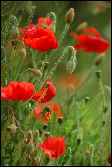 poppy poppies red flower flowers nature somerset somersetdreams