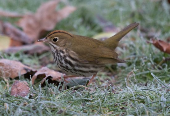 ovenbird accidentialspecies rarebirds