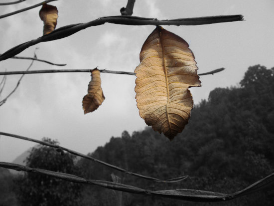 Three Solitary Leaves