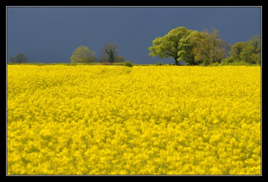 yellow somerset field prayer somersetdreams rapeseed