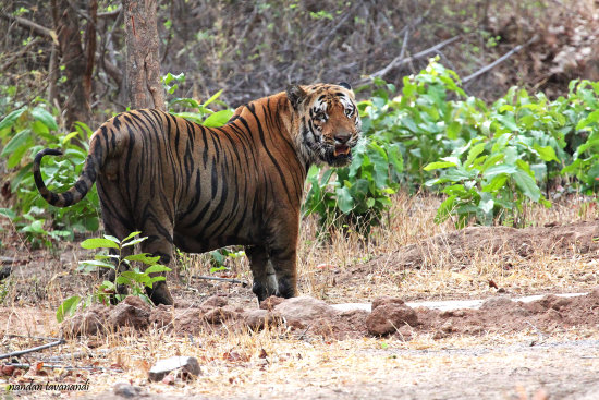 Nandan Tavanandi Tiger tail Tale Tadoba Reserve Irritated Tiger