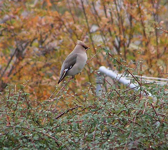 Waxwing in October
