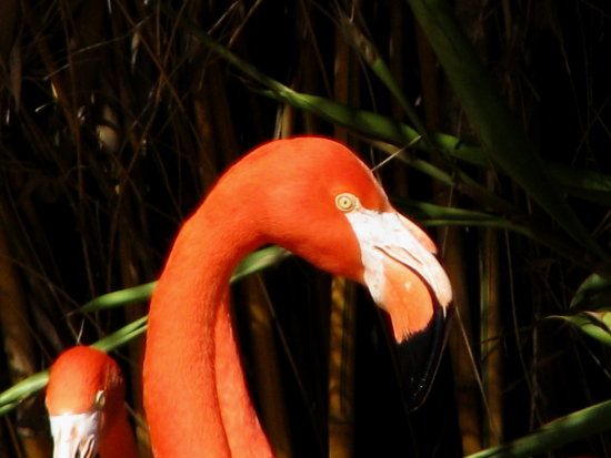 san diego zoo ca bird birds flamingo flamingoes pink