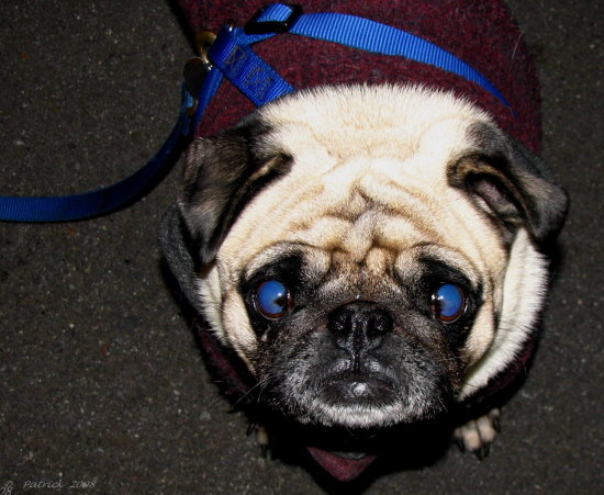 scaryfriday blue eyes pug dog