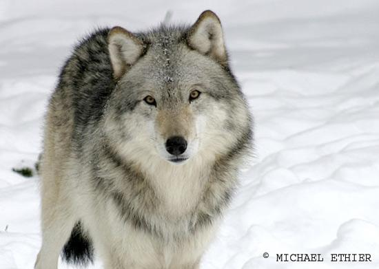 wolves wolf nature wildlife animals mammals