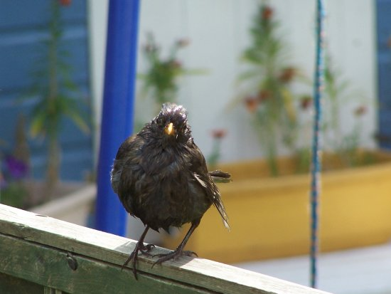 blackbird just had a shower in the pond