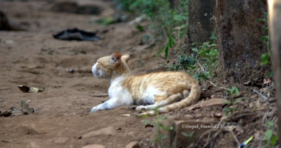cat dandeli karnataka india