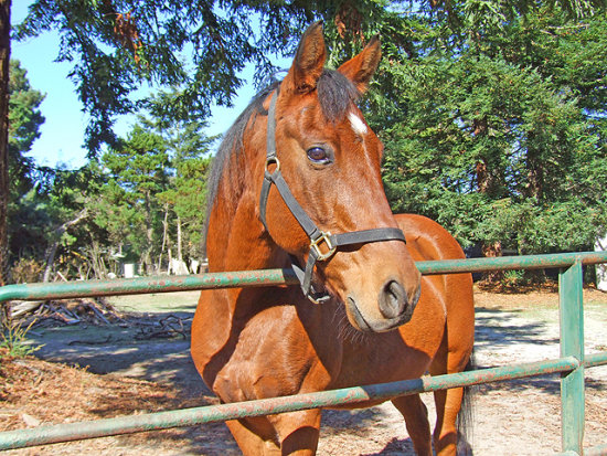 Portrait of a Thoroughbred/Quarterhorse cross, October 14, 2008