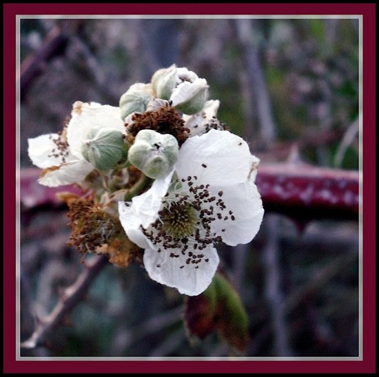 blackberry vine bloom flower