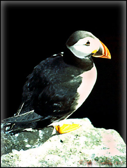 Puffin Skellig Kerry Ireland Peter_OSullivan