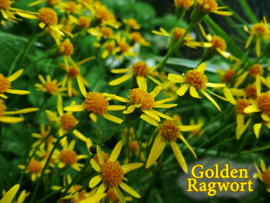 Ragwort in the Rain