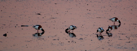 shelduck northam devon evening birds