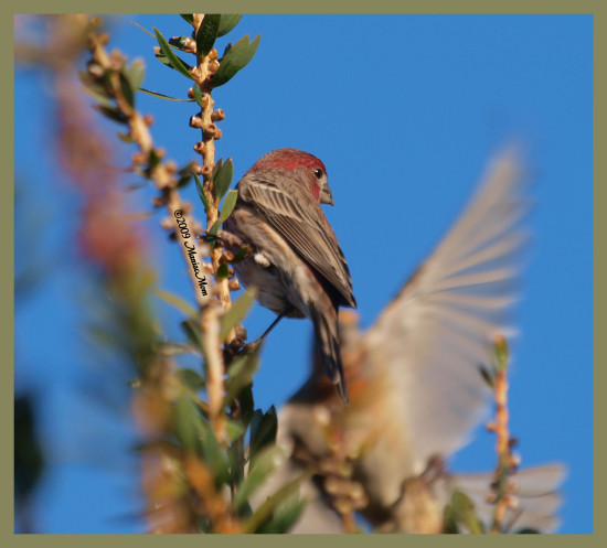 birds nature housefinch