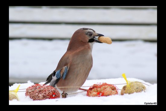 Jay in my garden this morning in the snow eating