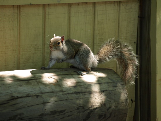 wildlife animal squirrel