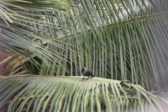 Crow on palm tree
