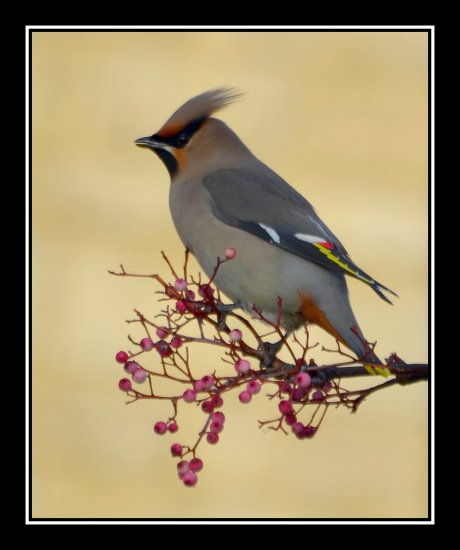 waxwing bird somerset england uk somersetdreams nature