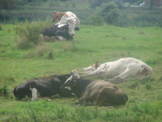 lazy cow sunday