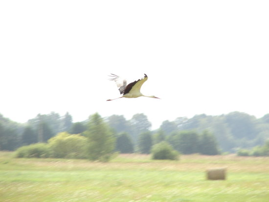 birds bird stork nature animals landscape latvia trip travels