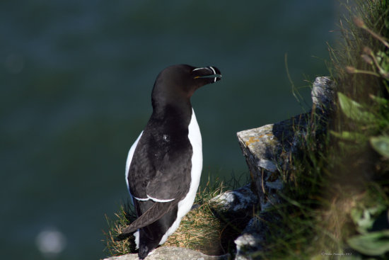 Razor Bill bird Bempton Cliffs RSPB