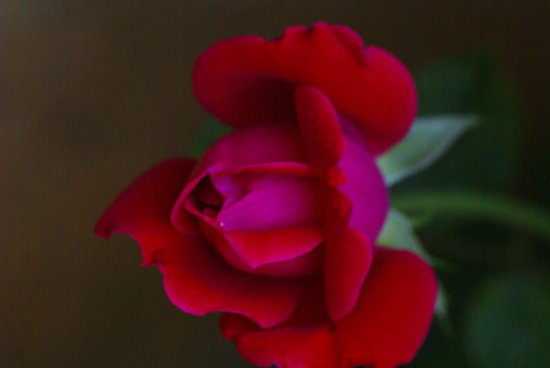 red rose just starting to blume