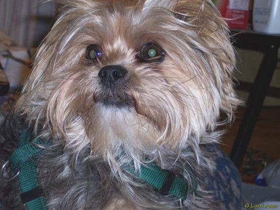 shihtzu columbiamo dog daneboy yorkshireterrier love