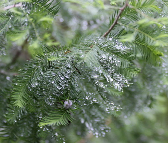 pine rain drops tree water