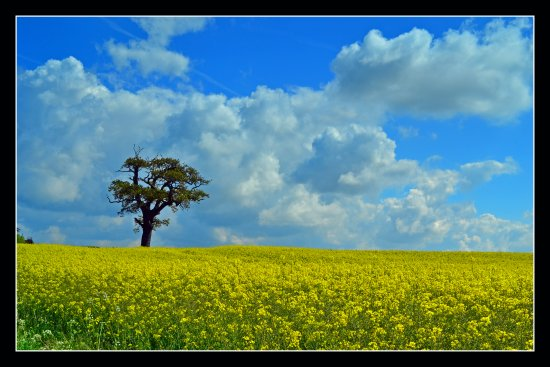 Rapeseed Landscape Spring Yellow Tree