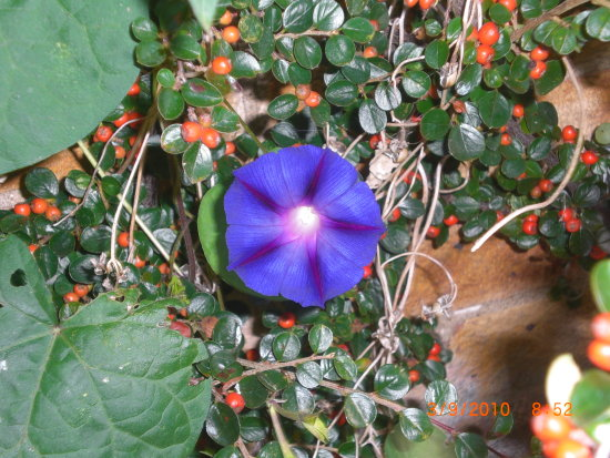 morningglory morningglories flower flowers