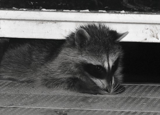 racoon and feather