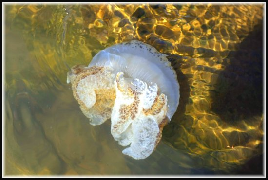 jelly fish food nature sea animal borneo sabah kinabalu macro