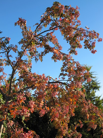 The red berries on my Rowan Tree seem to be turning white - so many berries and not a bird to be ...