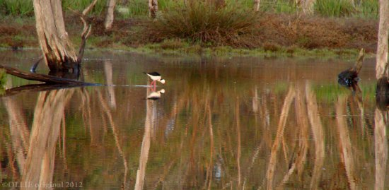 reflectionthursday bird pied stilt submerge perth hills littleollie