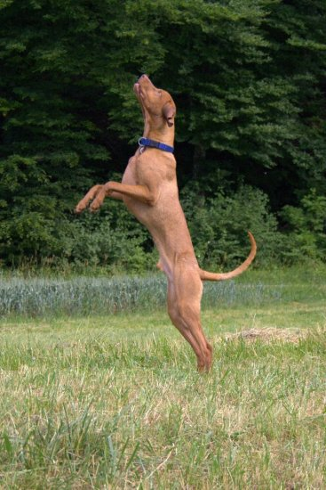 animal dog MagyarVizsla Vizsla Alvaro Jump jumping HuntingInsects