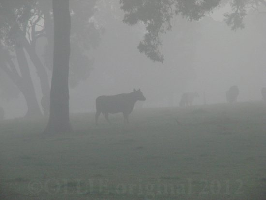 cattle silhouette mist perth hills littleollie