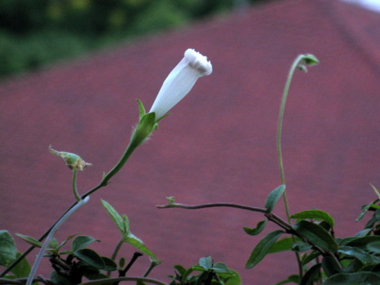 牵牛花