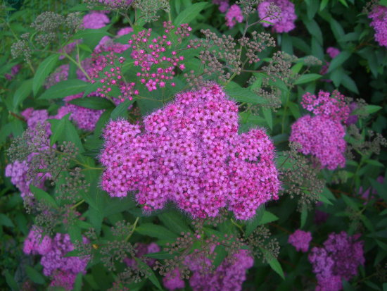 japanese meadowsweet spiraea japonica Anthony waterer