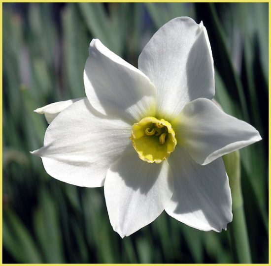 narcisus white flower bulb