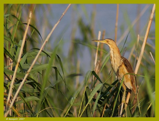 I think it's a Little Bittern female 