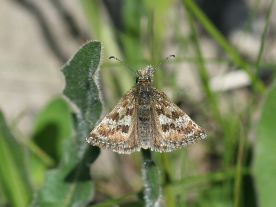 dingy skipper butterfly insect macro