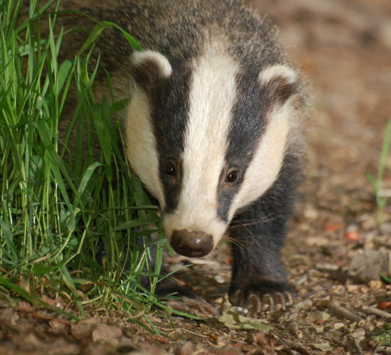 mycountryfriday badgers tiverton devon animals wildlife