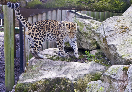 leopard cat wildlife marwell