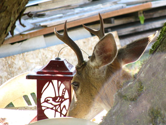 deer birdfeeder lunch