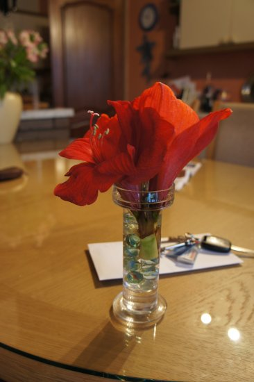 hippeastrum red flowers