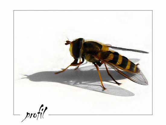 insect profil wasp shadows white BG