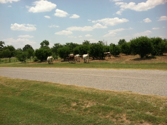 Long Horns walking through our yards..