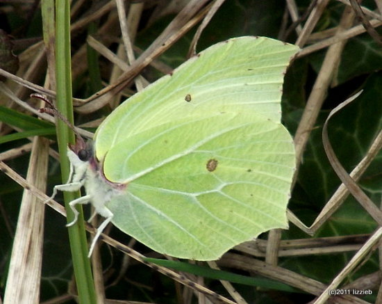 brimstone butterfly insect nature