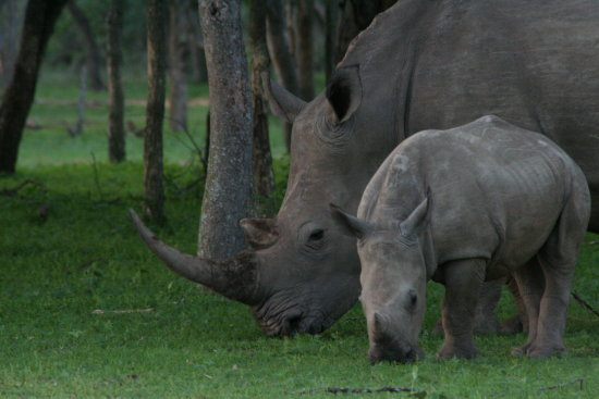White Rhino mother calf