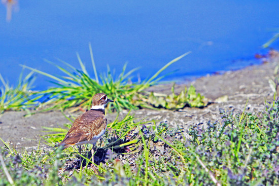 killdeer bird sjwildlifeArea roncarlin