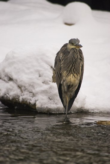 birds heron snow